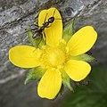 Potentilla indica (flower s2).jpg