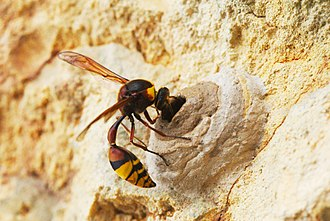 Parasitoid wasp - Potter wasp (Eumeninae), an idiobiont, building mud nest; she will then provision it with paralysed insects, on which she lays her eggs; she then seals the nest and provides no further care for her young.