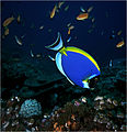 Powderblue surgeonfish.jpg