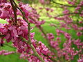 Průhonice, zámecký park, růžově kvetoucí keř.JPG