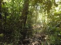 Prašuma u Kambodži.jpg