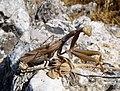 Praying Mantis. Mantis religiosa (32613941282).jpg