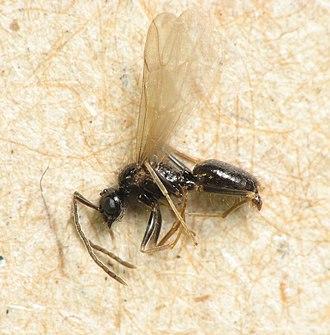 Ant - Alate male ant, Prenolepis imparis