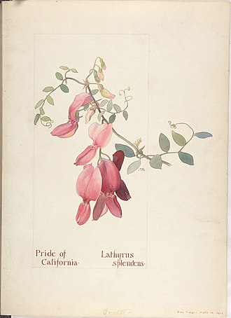Margaret Neilson Armstrong - Pride of California, Lathyrus Splendens, 1914. Watercolor, original of one of the illustrations in Armstrong's Field Book of Western Wild Flowers. Collection of the Metropolitan Museum of Art