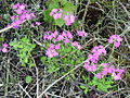 Primula farinosa 1aa.JPG