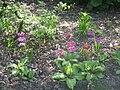Primula japonica 01.jpg
