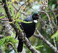 Prosthemadera novaeseelandiae -Tiritiri Matangi Island-8.jpg