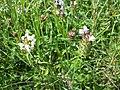 Prunella laciniata sl17.jpg