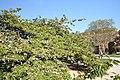 Prunus Sato-Zakura 'Shirotae' in the Jardin des Plantes, Paris 001.JPG