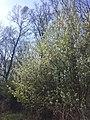 Prunus mahaleb sl28.jpg