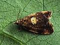 Pseudargyrotoza conwagana (26452518387).jpg