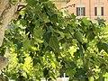 Psittacula krameri (18467325329).jpg