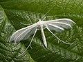 Pterophorus pentadactyla - White plume moth - Пальцекрылка пятипалая (39382719660).jpg