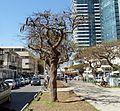 Purim Monring, Rothschild Boulevard P1130256.JPG