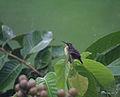 Purple Sunbird (Female)- Taking bath in the rain I2m IMG 9300.jpg