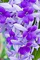 Purple flower on vine-01+ (356052006).jpg