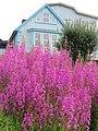 Purple flowers and house Qarqortoq Greenland.jpg