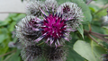 Purple white cottonball flower.png
