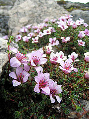 The Purple Saxifrage (Saxifraga oppositifolia), a common plant in the high Arctic, also occurs on Severnaya Zemlya.