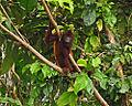 Purus Red Howler Monkey 1.jpg