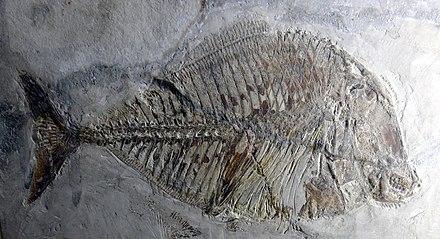 Pycnodus