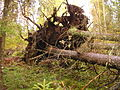 Pyssynkangas forest.JPG