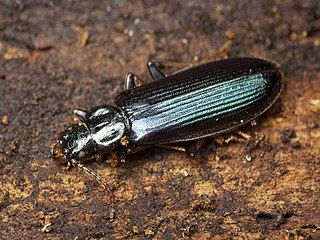 Pythidae family of insects