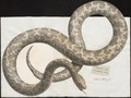 Python bivittatus - 1734-1765 - Print - Iconographia Zoologica - Special Collections University of Amsterdam - UBA01 IZ11800213.tif