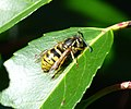Queen Common Wasp Vespula vulgaris (33606045635).jpg
