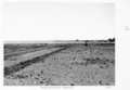 Queensland State Archives 4421 Sheep on road to McKinlay 1952.png