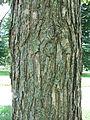 Quercus bicolor bark.jpg
