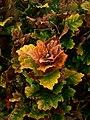 Quercus dentata - Flickr - peganum (2).jpg