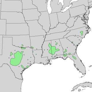 <i>Quercus sinuata</i> species of plant