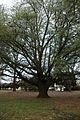Quercus hemisphaerica (24210063255).jpg