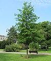 Quercus palustris, Pionirski park, Belgrade.jpg