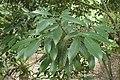Quercus sessilifolia kz02.jpg