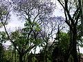 Quiosco Sta María con jacarandas floreadas 002.jpg