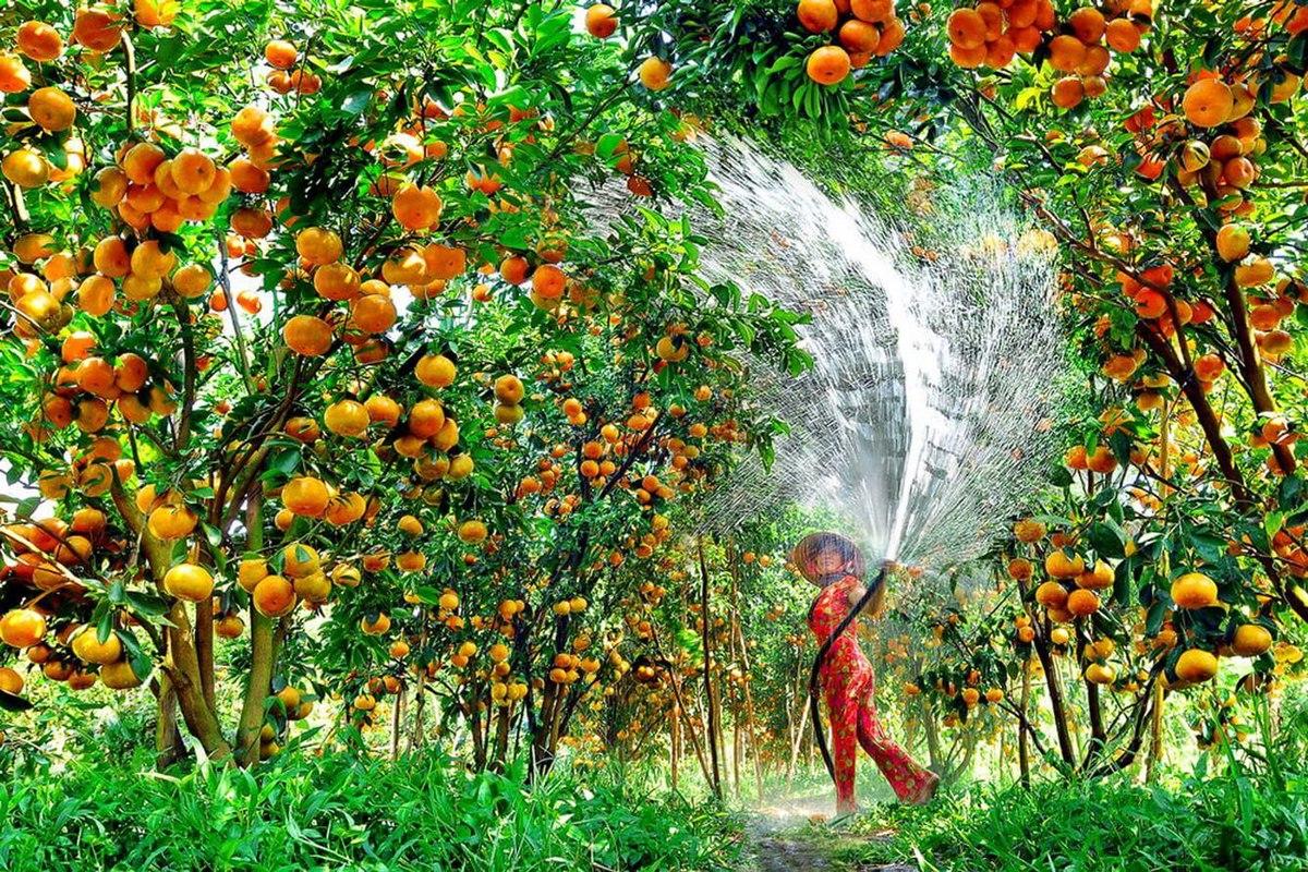 Tập tin:Quyt Hong Lai Vung.jpg – Wikipedia tiếng Việt