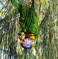 Rainbow Lorikeet....acrobatics. - Flickr - gailhampshire.jpg