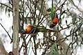 Rainbow lorikeets at Burke Road Billabong.jpg
