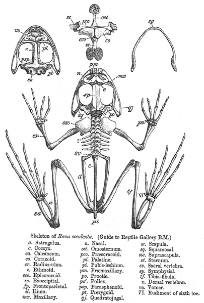 http://upload.wikimedia.org/wikipedia/commons/thumb/a/ae/Rana_skeleton.png/405px-Rana_skeleton.png