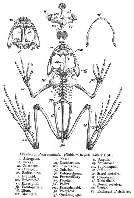 Скелет съедобной лягушки -