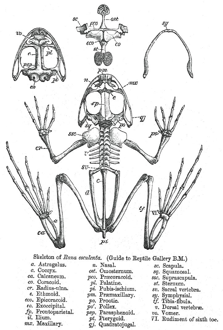 Rana skeleton