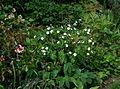 Ranunculus platanifolius - Flickr - peganum (1).jpg