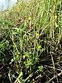 Ranunculus sardous subsp. sardous sl33.jpg