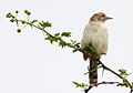 Rattling Cisticola, Cisticola chiniana, at Kruger National Park, South Africa (13828149403).jpg