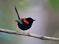 Red-backed Fairy-wren.jpg