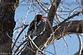 Red-breasted Sapsucker RBSA stake-out near Paton's AZ 2018-01-25 10-30-54 (28165325549).jpg