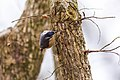Red-breasted nuthatch (32566436698).jpg