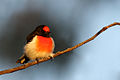 Red-capped Robin (Petroica goodenovii) (19474660149).jpg